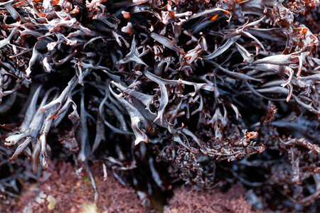 False Irish moss (Mastocarpus stellatus), a red algae species from the northern Atlantic Ocean.