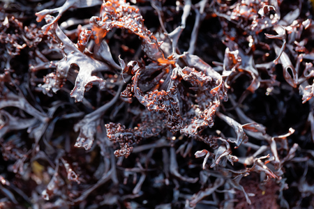 False Irish moss (Mastocarpus stellatus), a red algae species from the northern Atlantic Ocean.