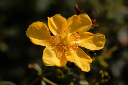 Flower of a St Johns wort (Hypericum patulum)