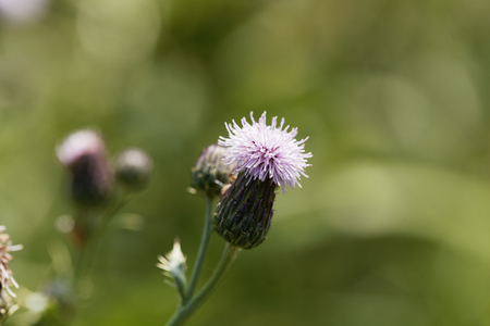 Flower of a creeping thistle (Cirsium arvense) Stock Photo