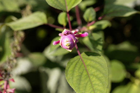 roseleaf: Flowers of the Roseleaf sage (Salvia involucrata), a medical plant from Mexico.