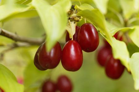Fruits of a Cornelian cherry (Cornus mas)