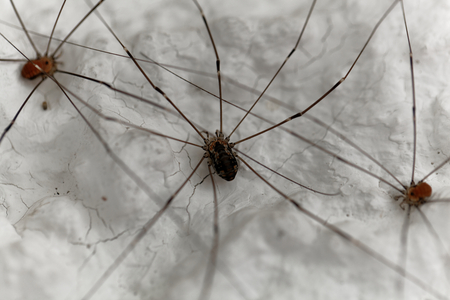 daddy long legs: A harvestmen spider on a white wall.