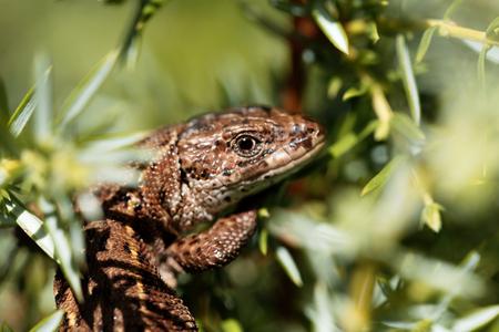 Common lizard (Zootoca vivipara) in a bush.