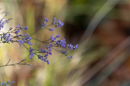 Flower of the sea lavender Limonium vulgare. Stock Photo