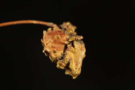 Knopper gall of the gall wasp Andricus quercuscalicis. The gall is a deformed acorn.