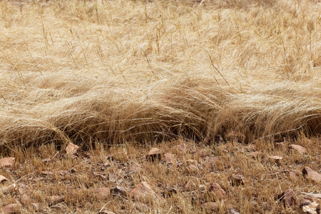 Detail of a teff field during harvest in Ethiopia. Teff (Eragrostis tef) is a sorghum. Stock Photo