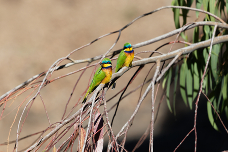 A pair blue breasted bee eater (Merops variegatus) in a eucalyptus tree.