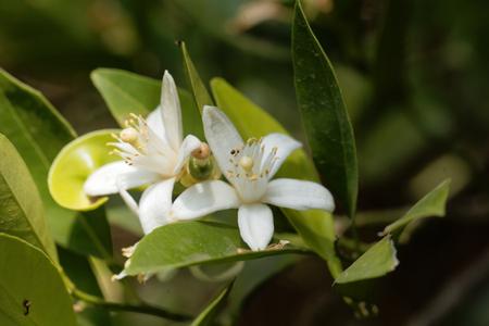 Flower of an orange tree (Citrus x sinensis) Фото со стока - 89948782