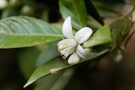 Flower of an orange tree (Citrus x sinensis)