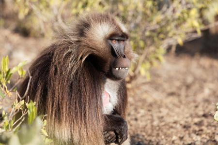 A male gelada baboon (Theropithecus gelada) in Debre Libanos in Ethiopia.