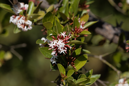 Flowers of a bush plum (Carissa spinarum) in East Africa. Stock Photo