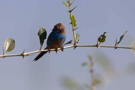 Red cheeked Cordonbleu (Uraeginthus bengalus) on a branch with blue sky.