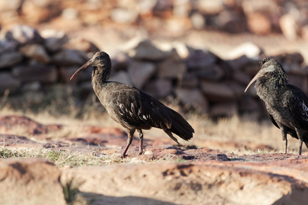 Wattled Ibis (Bostrychia carunculata), an endemic bird species in the Ethiopian highlands. Stock Photo