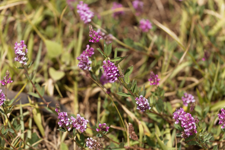 Flower of the clover Trifolium tempense in East Africa.