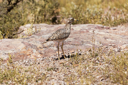 A spotted thick-knee (Burhinus capensis) in bushland in East Africa. Stock Photo