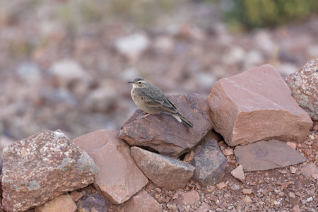 An Ortolan bunting (Emberiza hortulana) in East Africa. Stock Photo