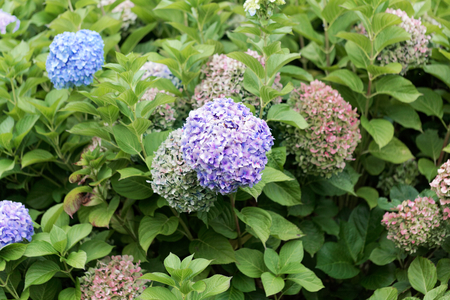 Flowers of a French hydrangea (Hydrangea macrophylla) Stock Photo