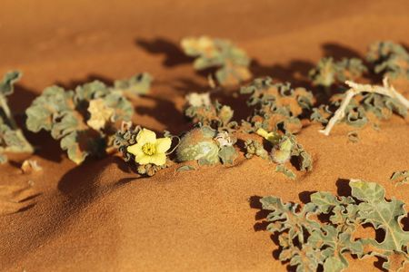 Colocynth plant (Citrullus colocynthis) in the Sahara desert on a sand dune, a wild melon used for medicine, as food or soap production.