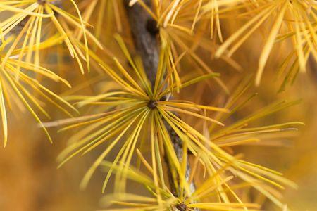 Yellow larch needles (Larix decidua) in the late autumn. Imagens