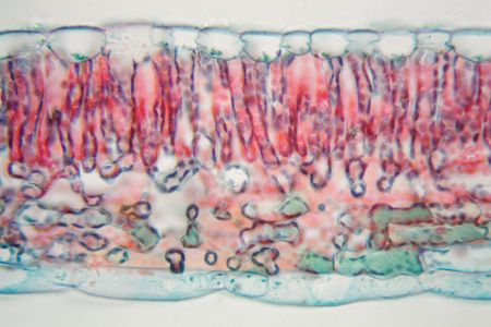 Cross section of a cotton leaf under the microscope.