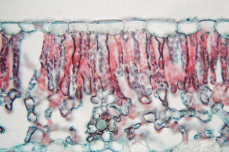顕微鏡下の綿葉の断面。