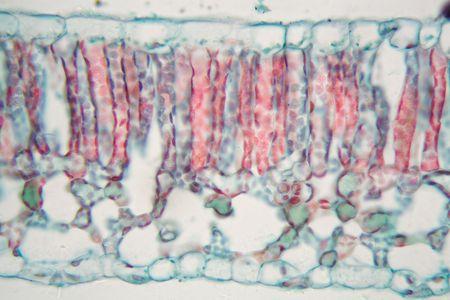 顕微鏡下で綿の葉の断面図。 写真素材