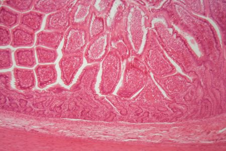 Section of a dog ciliated columnar epithelium under the microscope.