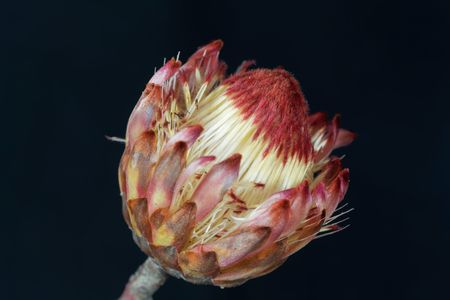 Flower of a sugarbush (Protea sp.), a plant from South Africa, with black background.