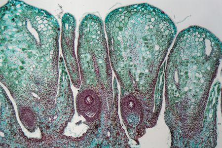 顕微鏡下のメスの松ぼっくりの詳細。 写真素材