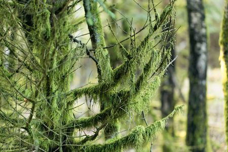 Branches covered with green lichens in a spruce forest.
