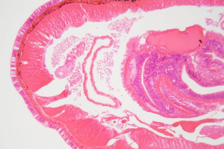 Cross section of an Earthworm under the microscope.