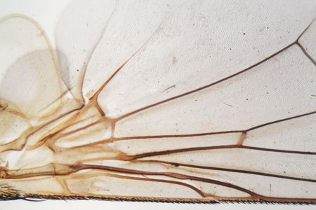 Detail of a house fly wing under the microscope.