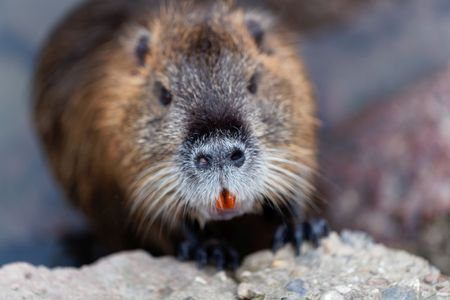 Face of a Coypu or Nutria (Myocastor coypus) Stock Photo