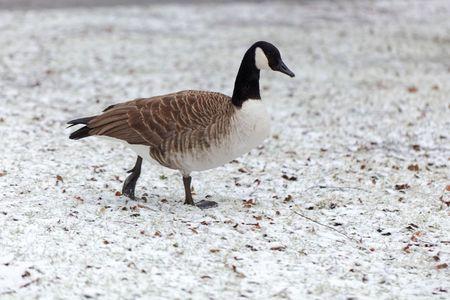 A Canada goose (Branta canadensis) on a snowy meadow. Stock Photo