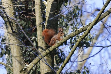 A red squirrel or Eurasian red squirrel (Sciurus vulgaris) in a tree.