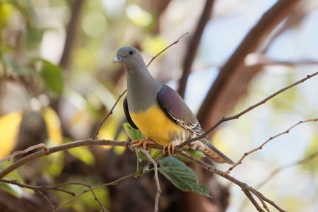 Bruces green pigeon (Treron waalia) or yellow-bellied fruit pigeon, an African wild pigeon species. 版權商用圖片