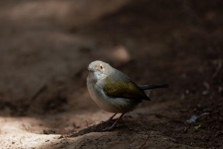 Grey-backed camaroptera (Camaroptera brevicaudata), a small African bird. Stock Photo