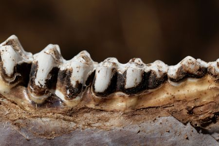 Macro photo of old cow teeth.