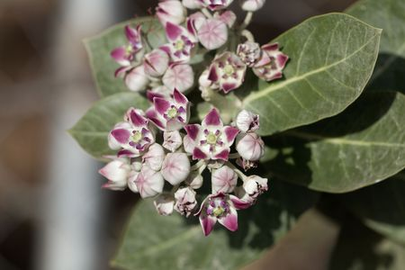Flowers of a Sodom apple bush (Calotropis procera) a poisonous plant from the Near East and North Africa. Banco de Imagens