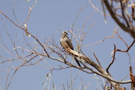 A female Namaqua dove (Oena capensis) in a tree. Stock Photo