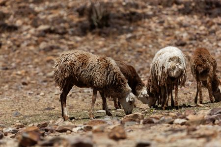 Sheep grazing on a dry field in Africa.