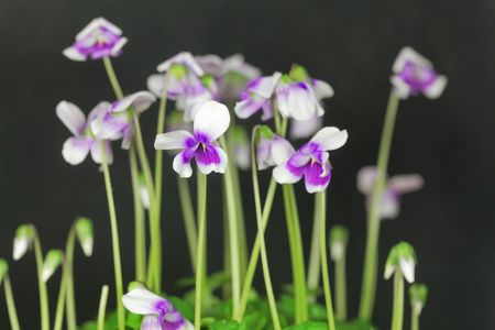 Flower of the violet Viola hederacea from Australia. Stock Photo