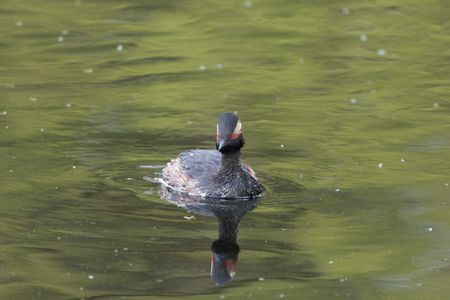 A black-necked grebe (Podiceps nigricollis) in breeding plumage on a lake surface.