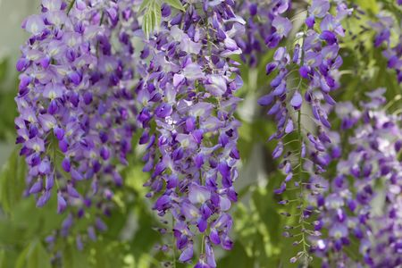 Flowers of a Japanese wisteria (Wisteria floribunda) 스톡 콘텐츠