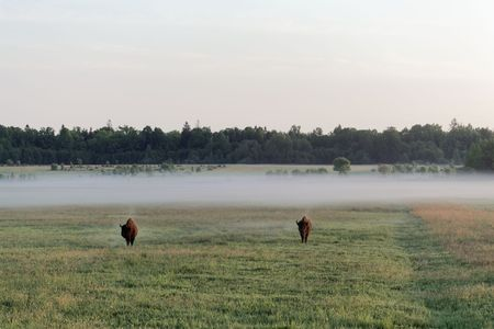 A pair of wild European bison bulls (Bison bonasus) on meadow in the early morning and with fog. In the Bialowieza Forest National Park in Poland. Stock Photo