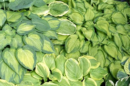 Different colored leaves of plantain lilies (Hosta sp.) Stock Photo