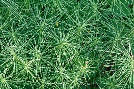 Leaves of a meadow horsetail (Equisetum pratense) as background. Stock Photo
