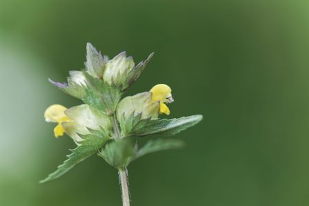 Flowers of a little yellow rattle (Rhinanthus minor), a wild plant from Europe.