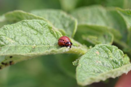 Larva of a Colorado potato beetle (Leptinotarsa decemlineata) on leaves of a potato plant.